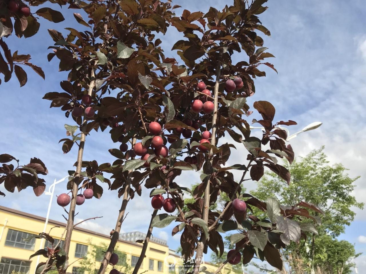 路边风景树结的果实是否能食用?